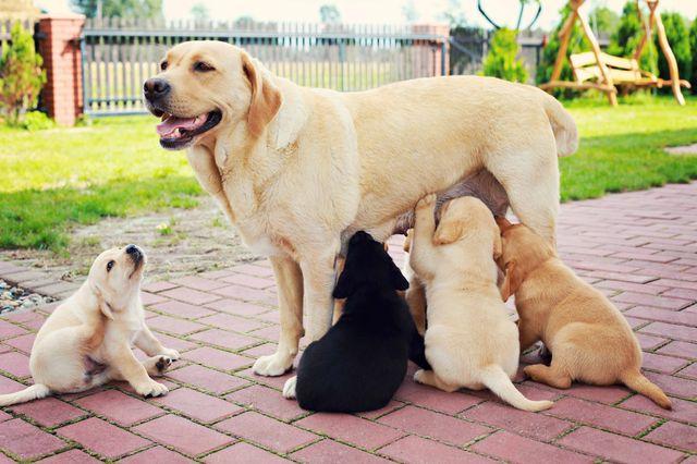 Рак молочной железы у собаки