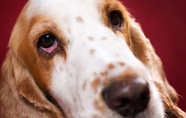 """У собаки гноятся глаза: как лечить? — Блог ветклиники """"Беланта"""""""