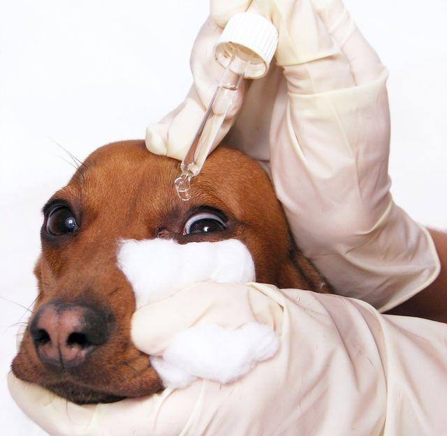 У собаки гноятся глаза