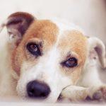 У собаки гноятся глаза: как лечить?