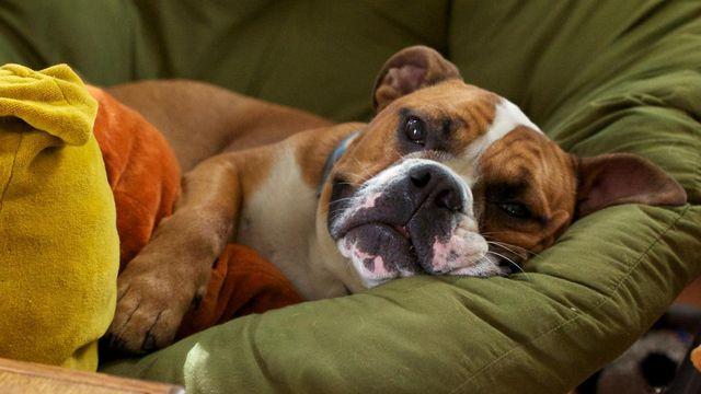 Болезнь Аддисона у собаки