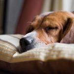Проблемы лечения гипотиреоза у собак