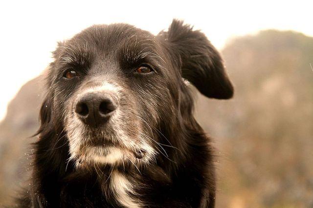 Старый пес