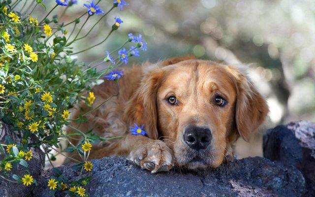 Пес лежит рядом с цветами