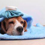 Как лечить простуду у собаки?