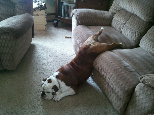 Dog rolled off the couch
