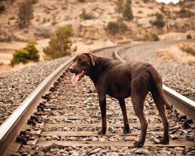 Собака стоит на жд путях