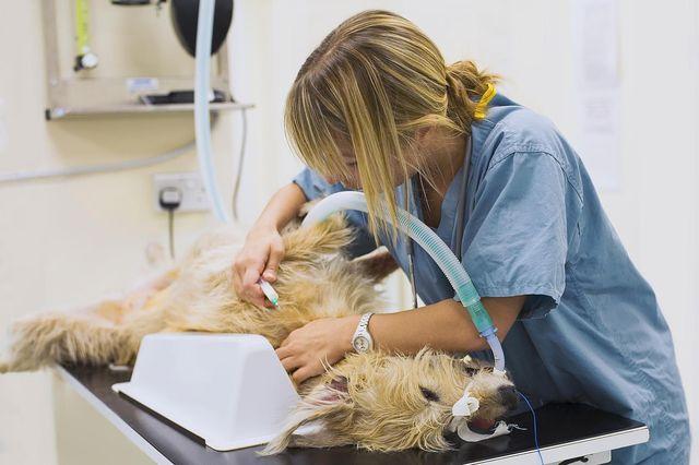 Операция собаке