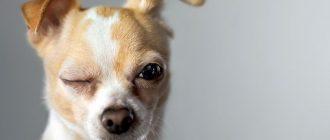 Собака без одного глаза