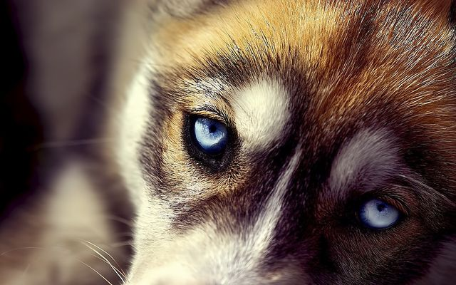 Голубые глаза у собаки