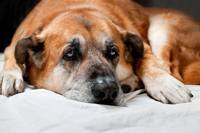 Собак грустная лежит