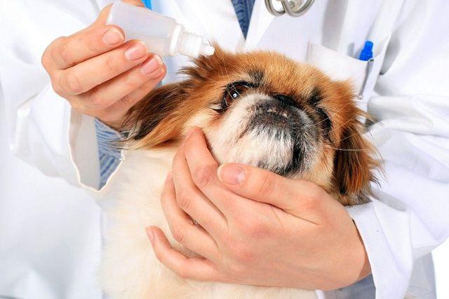 Ветеринар закапывает лекарство собаке