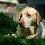 Как лечат язву роговицы у собак?