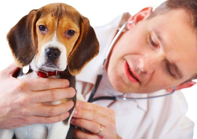 Ветеринар слушает щенка