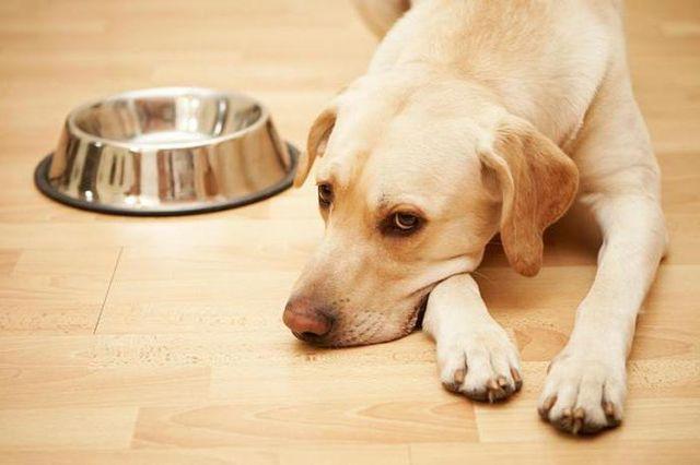 Собака возле пустой миски
