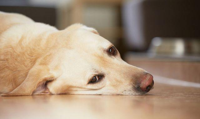 Собак лежит на полу