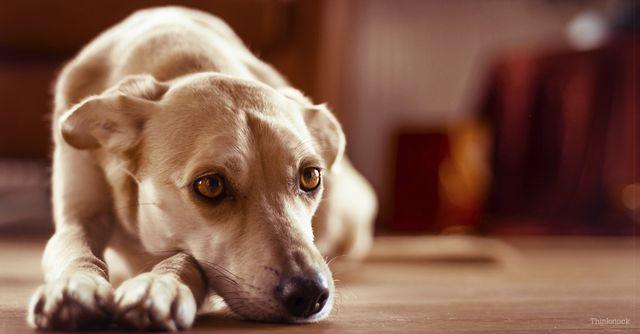 Пес лежит на полу