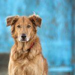 Особенности дирофиляриоза у собак