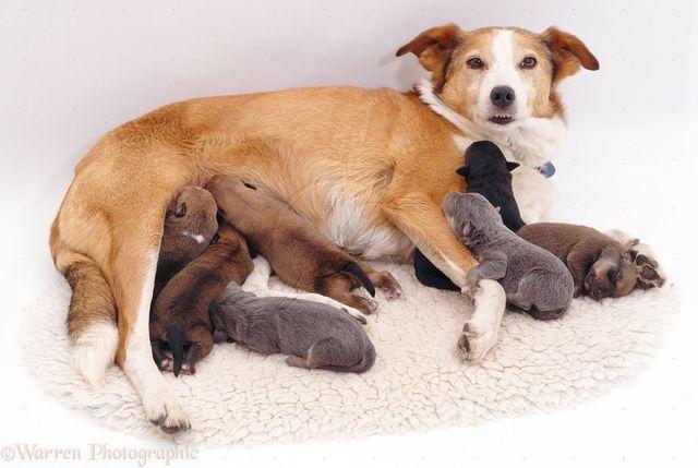 Собака выкармливает щенят