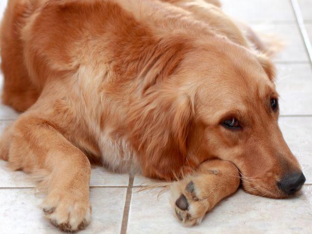 Собака грустит на полу