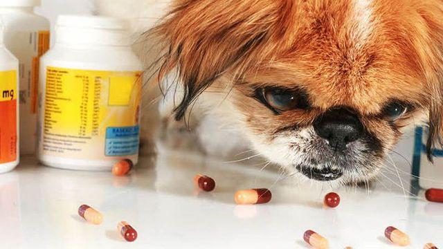Собака ест таблетки