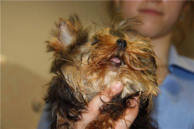 Больная собака на руках