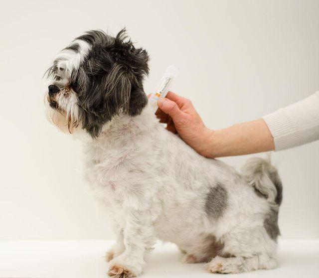 Зудневая чесотка у собак лечение