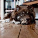 Проблемы межпозвонковой грыжи у собак