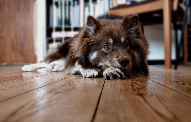 Пес лежит на деревянном полу