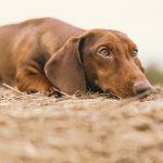 Что такое вестибулярный синдром у собак?
