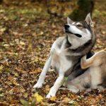 Признаки блошиного дерматита у собак