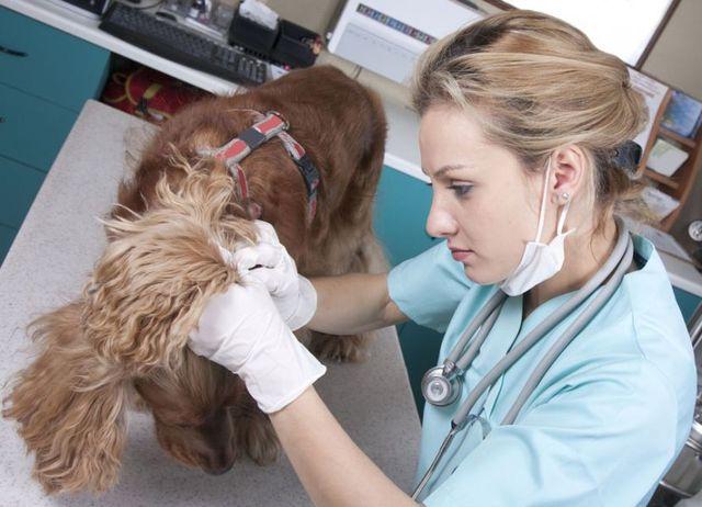 Врач осматривает кожу собаки