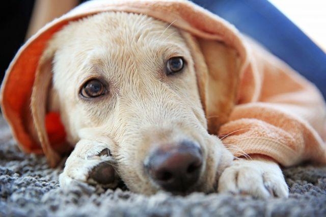 Пес под одеялом