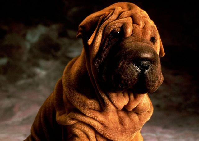 Sharpei on a walk