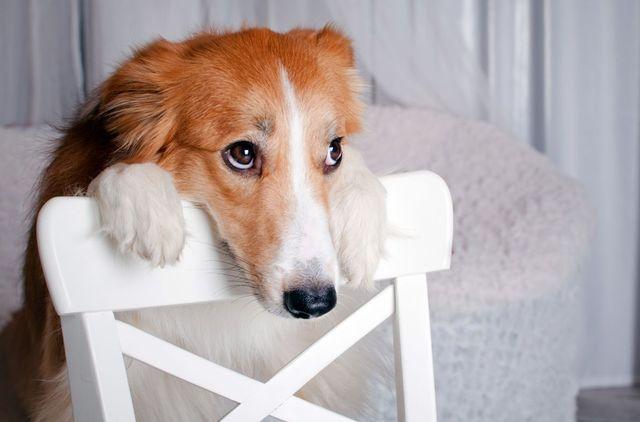 Собака опирается на стул