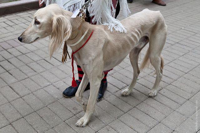 Тощая собака