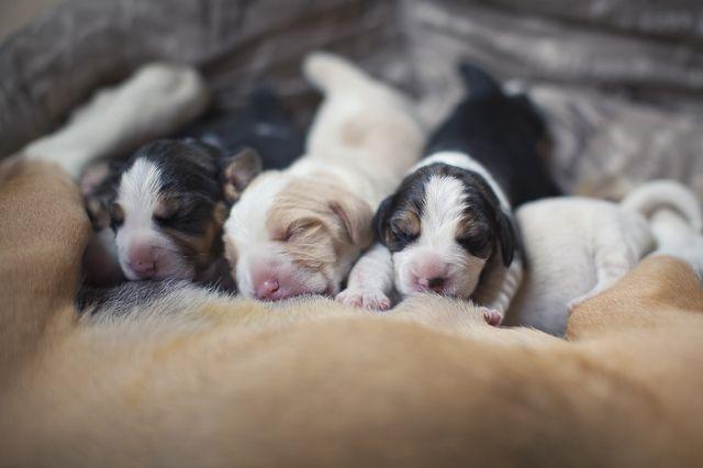 Новорожденные щенки возле мамы