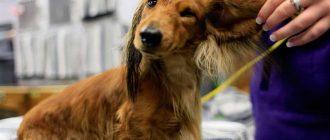 Хозяйка держит собаку за ухо