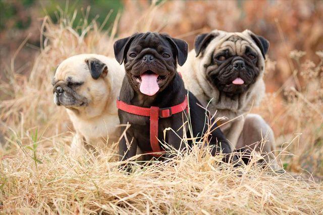 Мопсы в траве