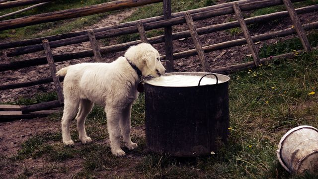 Dog drinking from a barrel