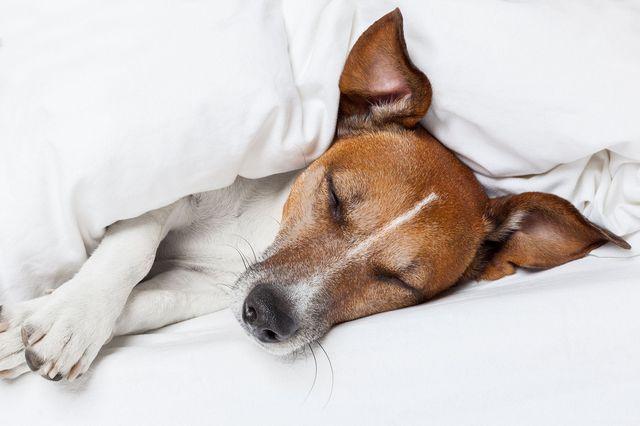 Собака под одеялом