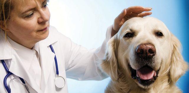 Ветеринар гладит собаку