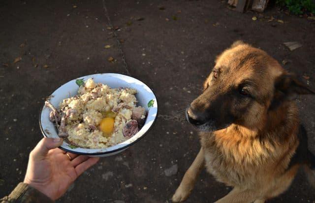 Собаку кормят кашей