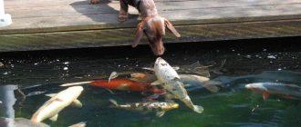 Пес нюхает рыбу