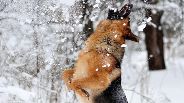 Овчарка ловит снежинки