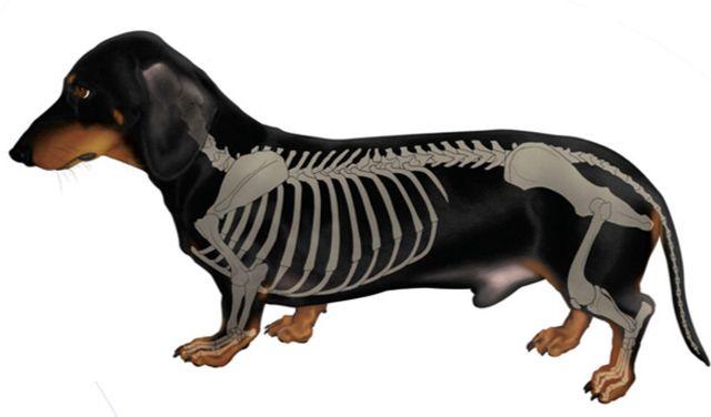 Модель скелета собаки