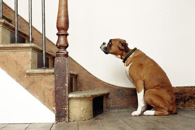 Собака около лестницы