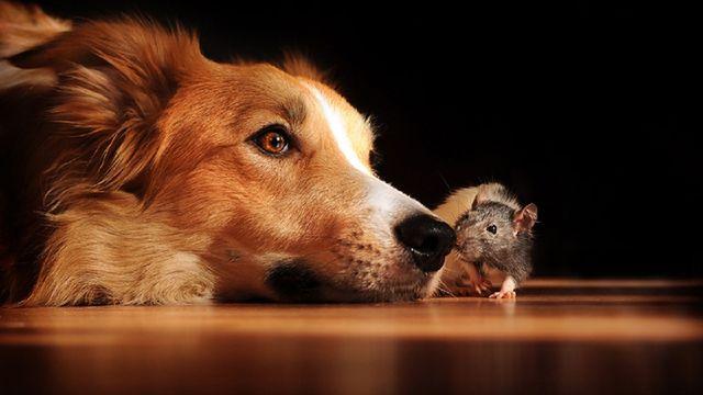Крыса нюхает собаку