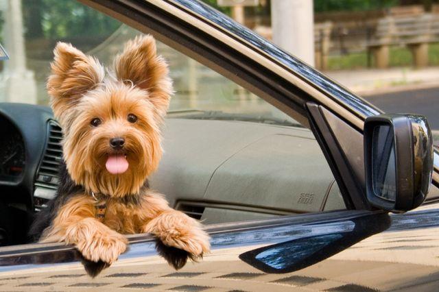 Пес выглядывает из машины
