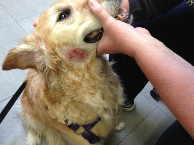 Dermatitis in dogs